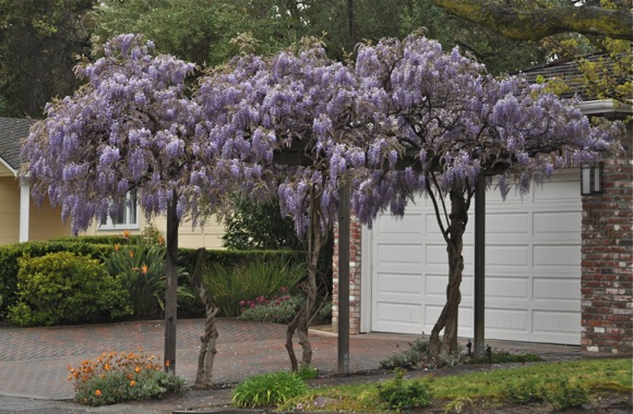 wisteria in bloom in later March in Menlo Park