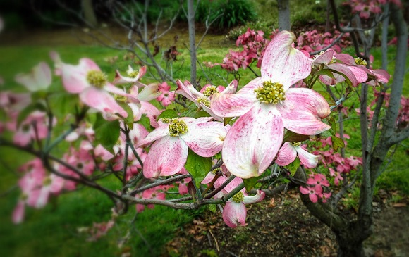 dogwood photographed by Scott Loftesness