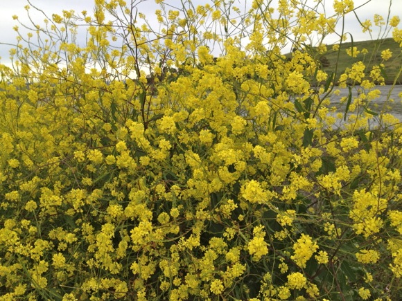 mustard at Bedwell Bayfront Park