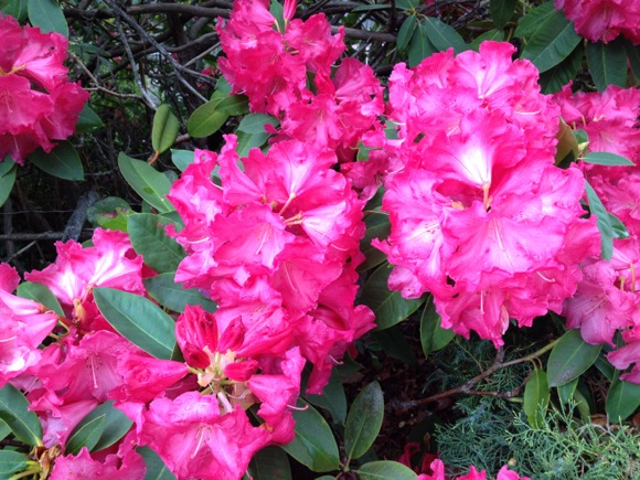 rhododendron in Menlo Park, CA