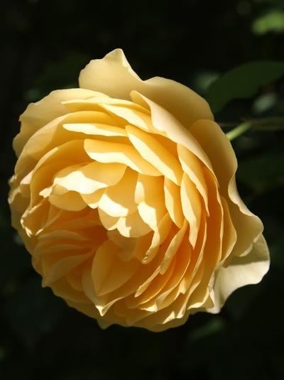 Golden Celebration, a David Austin rose