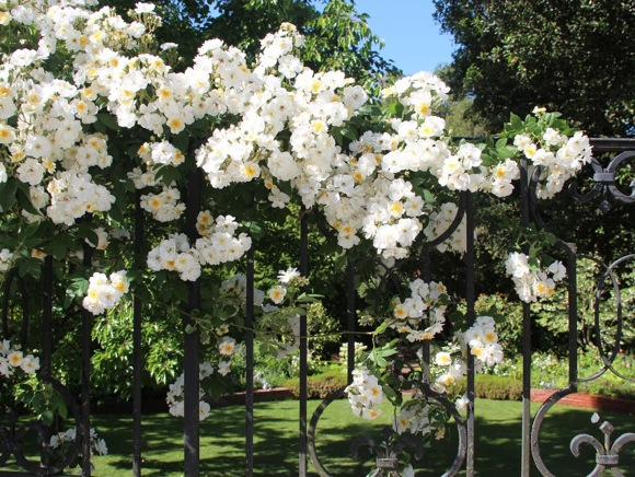 Rambling Rector rose photographed by Frances Freyberg