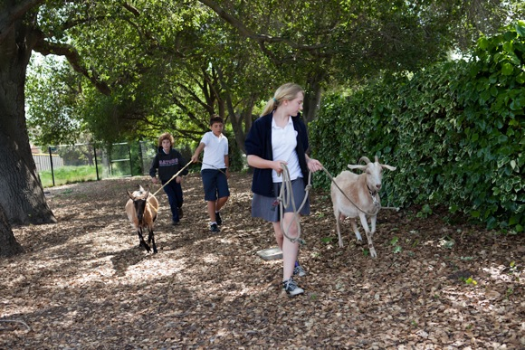goats go for milking at Sacred Heart Schools