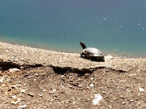 Turtle sunning itself at Sharon Park