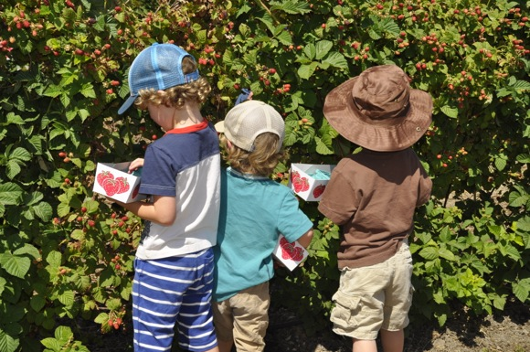 U-pick berry season at Webb Ranch opens