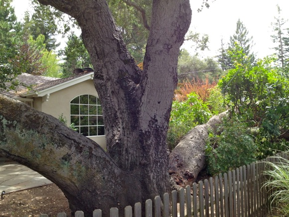 old oak breaks apart in Menlo Park