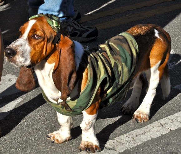 Basset Hound in Bark Parade at 2011 downtown Menlo Park block party