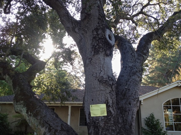 Spotted: Heritage oak tree slated for removal