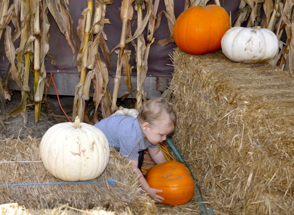 Toddler picks out a pumpkin at Webb Ranch in Menlo Park