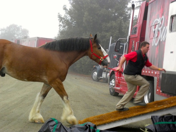 Clydesdale departs The Horse Park in Woodsid