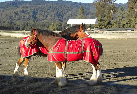 Budweiser Clydesdales at The Horse Park in Woodside