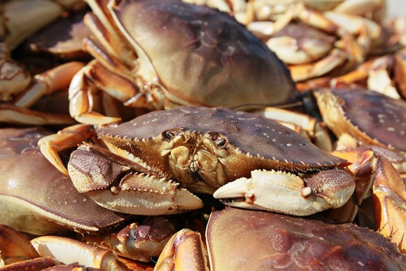 Dungeness crab hits the market but going crabbing remains fun recreational option