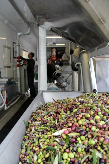 Sacred Heart Schools unique urban olive orchard yields vintage oil that's sold at holiday boutique