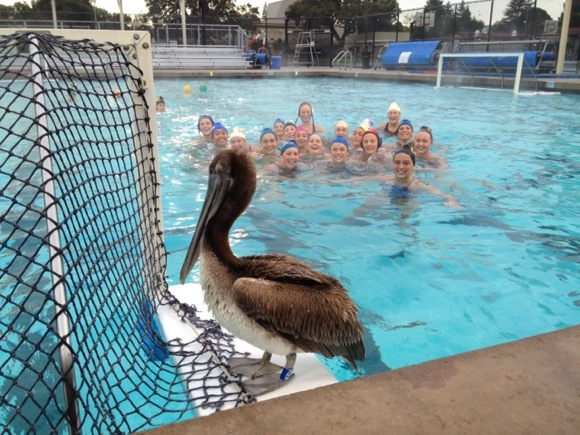 pelican lands at Menlo-Atherton High School pool