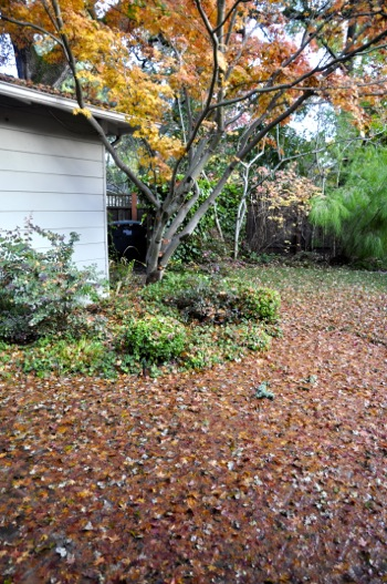 fallen leaves following storm in Menlo Park