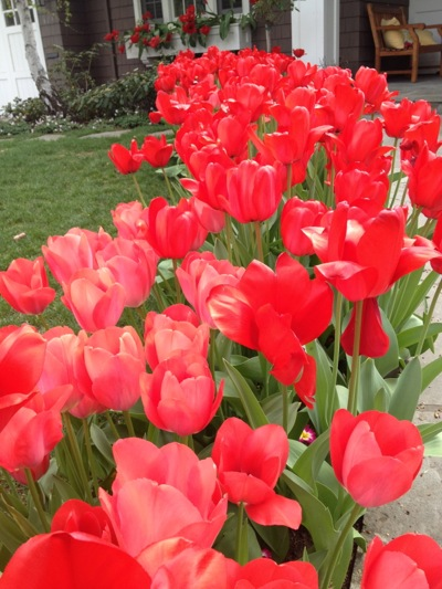 Spotted: Easter tulips sporting Christmas red