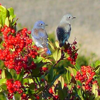 Bluebird on Toyon Trail at Edgewood Park