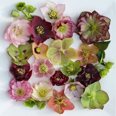 hellebore_assorted