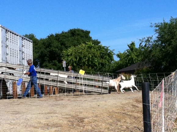 Goats report for work at Sharon Hills Park