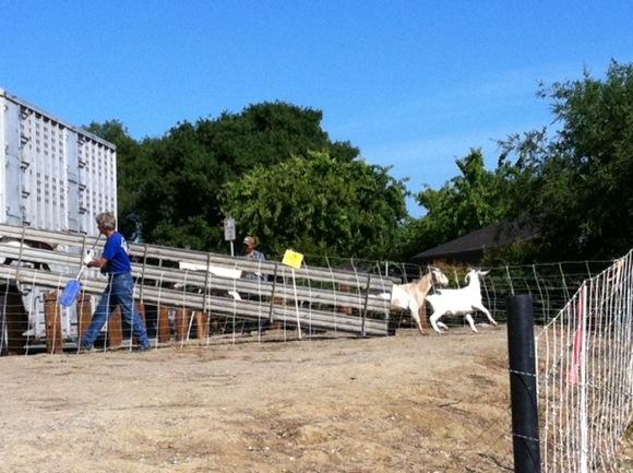 goats arrive in Menlo Park