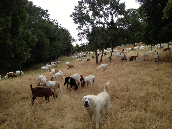 goats at Sharon Hills Park in Menlo Park