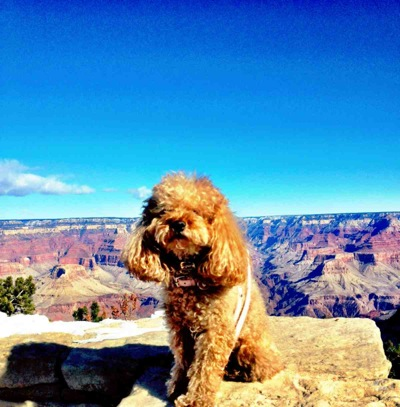 Annabelle – Menlo Park's majestic poodle – goes on a road trip, visiting American landmarks
