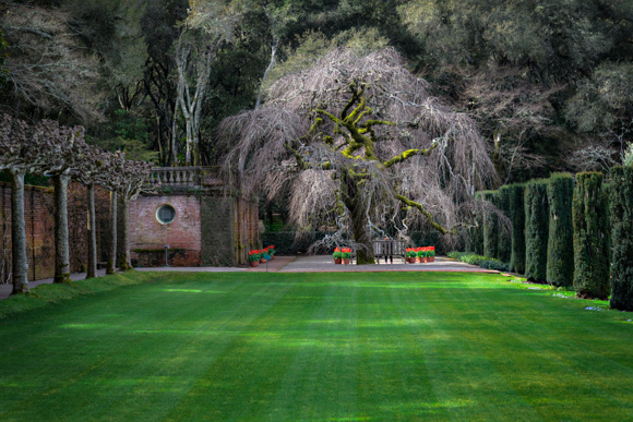 Camperdown Elm - Filoli - 2013