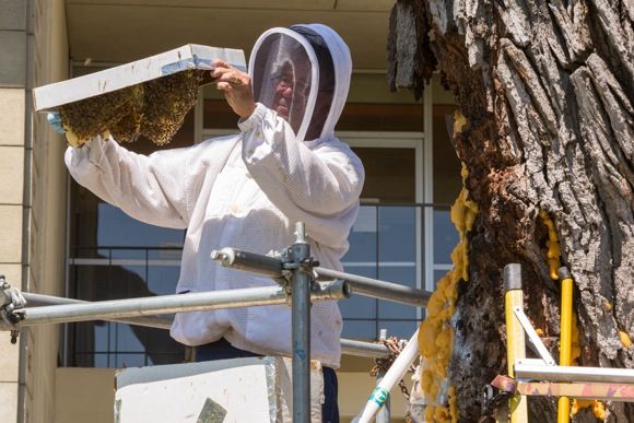 Post image for Let it bee – saving a hearty colony on the SLAC campus in Menlo Park