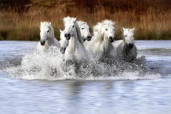 Camargue horses photographed by Merrie Asimow