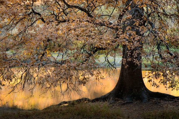 "Post image for Menlo Park-based photographer Fred Mertz's ""go to"" spot is a Black Oak along the Merced River"