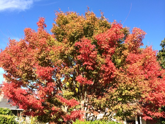 Post image for Spotted: Fall color arrives in Menlo Park