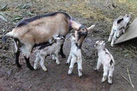 Sacred Heart goats