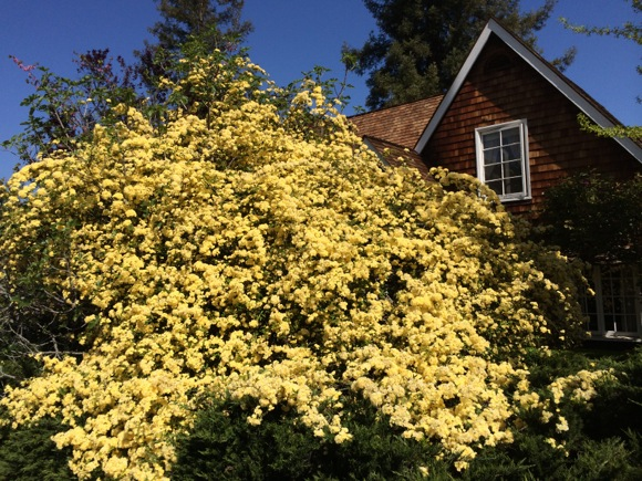 Post image for Spotted: Wall of yellow roses in west Menlo Park