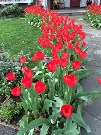 Spotted: Happy red tulips in west Menlo Park