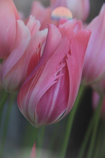 Filoli tulip_March_Freyberg_vert