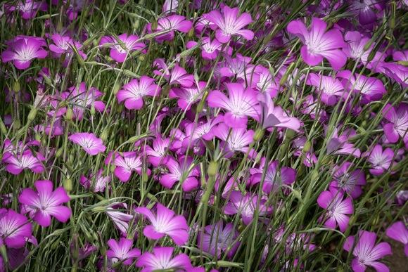 Purple flowers_Filoli_Scott L_hori