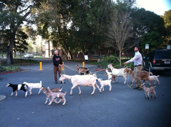 Post image for Once again, goats can be spotted in Menlo Park and Atherton