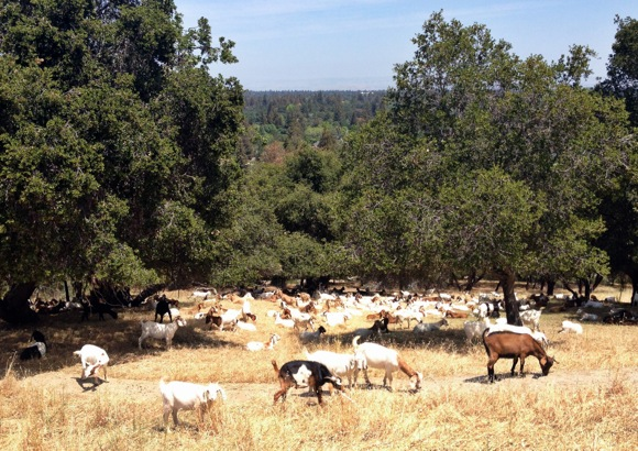 Goats in Sharon Park