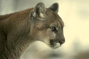 Post image for Possible mountain lion sighting in west Atherton this morning