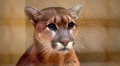Post image for Reported mountain lion sighting in Atherton last weekend