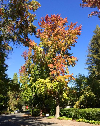 Post image for Spotted: Fall color in Menlo Park