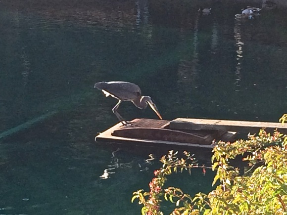 Post image for Spotted: Patient Blue Heron fishing for breakfast