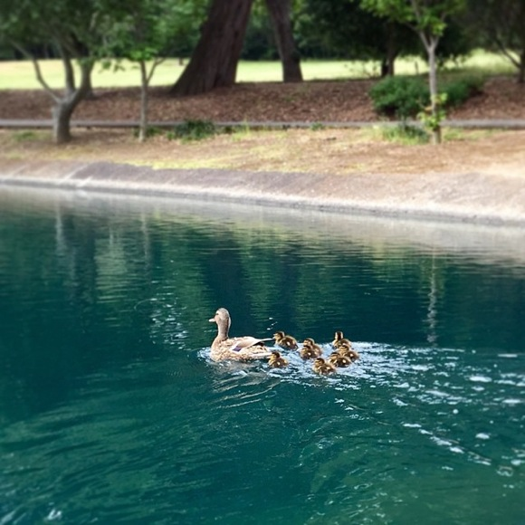 Post image for Make way for ducklings at Sharon Park on Mother's Day