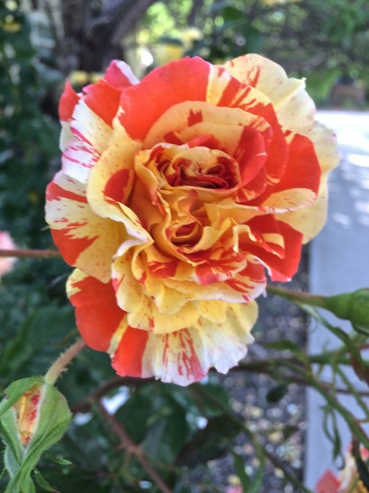 Post image for Spotted: Pretty roses this spring in Menlo Park