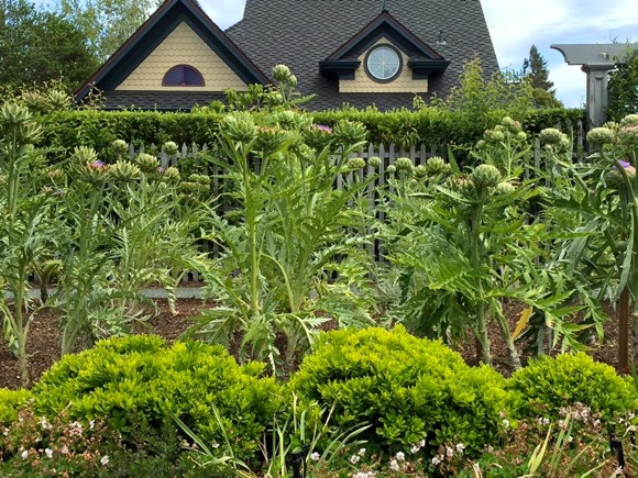 flowering artichokes with cottage