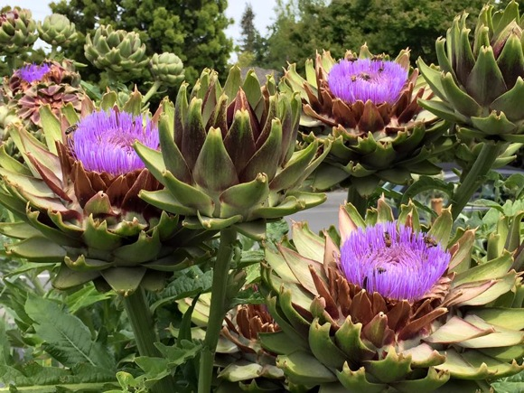 Post image for Spotted: Artichokes adorning a Menlo Park front yard