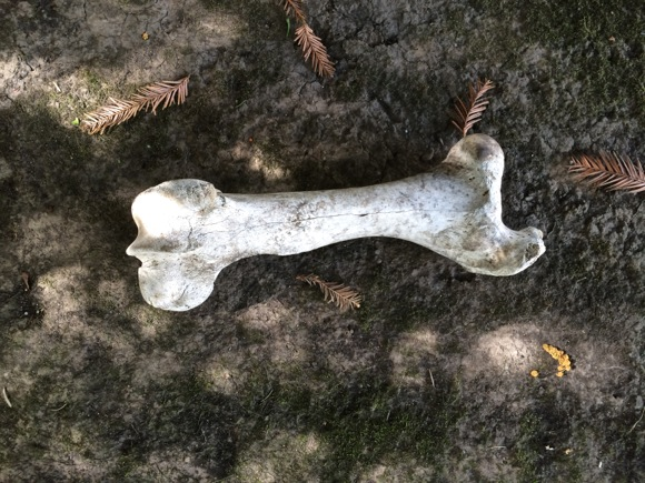 Post image for A Menlo mystery: Where did this big bone come from?