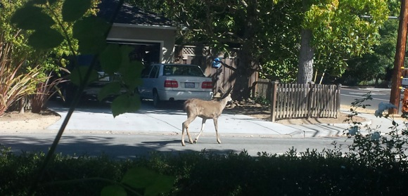 Post image for Young buck spotted in front yard of San Mateo Drive home
