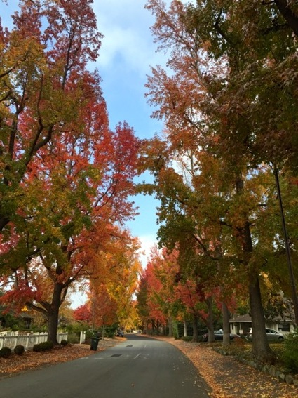 Spotted: Liquidambar in all its Fall glory on Cotton St.