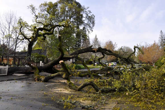 Post image for Oak is casualty of weekend storms in Menlo Park